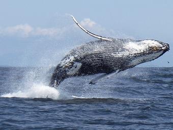 baleine samana